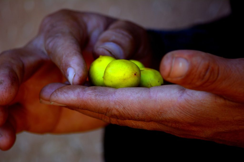 plody arganie trnité